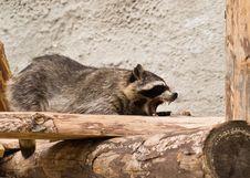 Free Raccoon (Procyon Lotor) Royalty Free Stock Photos - 5771208