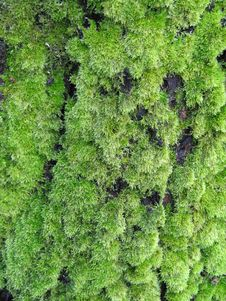 Free Green Moss Royalty Free Stock Images - 5771209