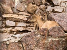 East Caucasian Ibex (Capra Cylindricornis) Stock Image