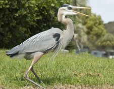 A Great Blue Heron In Florida. Royalty Free Stock Photography