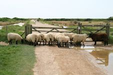 Sheep At The Gate Royalty Free Stock Photo