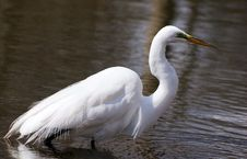 Free Great White Egret Fishing Royalty Free Stock Images - 5773139