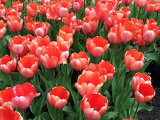 Free Red Tulips Stock Photography - 5773172