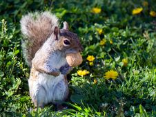 Free Squirrel Stands On Back Paws Stock Photo - 5773180