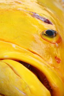 Free Big Yellow Fish Royalty Free Stock Images - 5773339
