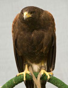 Free The Harris Hawk Royalty Free Stock Photos - 5774088
