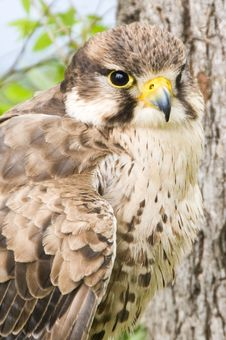 Free Kestrel Falcon. Stock Photos - 5774203