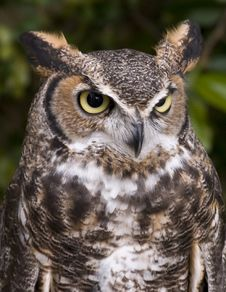 Free Horned Owl. Royalty Free Stock Image - 5774316