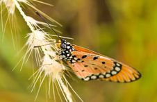 Free Tawny Coaster Butterfly Stock Image - 5774811