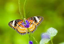 Male Leopard Lacewing Butterfly Royalty Free Stock Photography