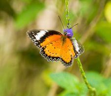 Free Fluttering Feeding Butterfly Stock Photo - 5775050