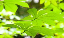 Free Multi Lobe Leaves Underside Stock Photography - 5775362