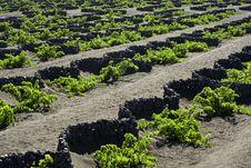 Traditional Vineyard At La Geria, Lanzarote Royalty Free Stock Photography
