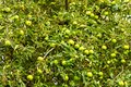 Free Green Apples Royalty Free Stock Photo - 57789755