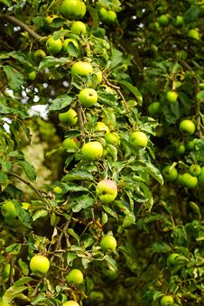 Free Green Apples Stock Image - 57789711