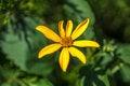 Free Single Yellow Flower Helianthus Tuberosus Stock Photos - 57794903