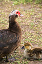Free Mother Duck And Duckling. Royalty Free Stock Photos - 5785308