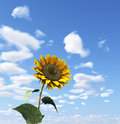 Free Sunflower Royalty Free Stock Photography - 5786557