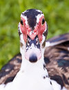 Free Close Up Muscovy Duck. Stock Photo - 5788370