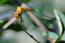 Free Dragonfly. Stock Images - 5780104