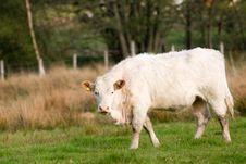 Free Bull Royalty Free Stock Image - 5780146