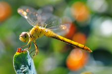 Free Dragonfly. Royalty Free Stock Photography - 5780767