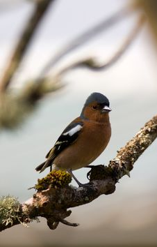 Free Chaffinch Royalty Free Stock Image - 5780876