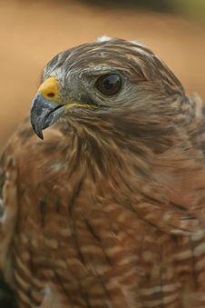 Free Hawk Royalty Free Stock Photos - 5780968