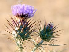 Free Cotton Thistle Stock Image - 5781591