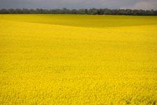 Free Yellow Field Stock Photo - 5782310