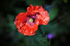 Free Poppy. Royalty Free Stock Photo - 5782525