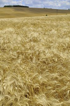 Free Barley Field Stock Photography - 5782872