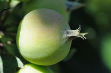 Free Wild Apples. Stock Photography - 5782902