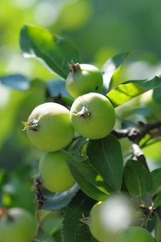 Wild Apples. Royalty Free Stock Images