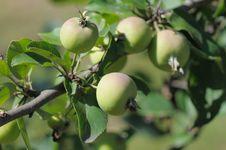 Wild Apples. Royalty Free Stock Photo