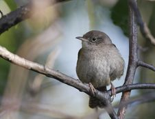 House Wren(troglodytes Aedon) Stock Photo