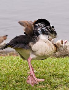 Free An Egyptian Goose Stretching Stock Photos - 5784293