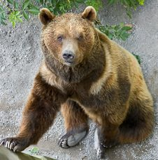 Free Brown Bear 10 Royalty Free Stock Photography - 5784667