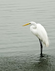 Free A Great White Egret Stock Images - 5784944