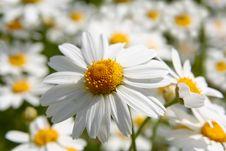 Free White Daisy Background Royalty Free Stock Photography - 5785127