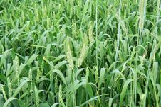 Free Background Of Green Field Royalty Free Stock Photo - 5785365