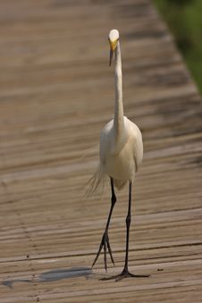 Free Great Egret (ardea Alba) Stock Photos - 5785453