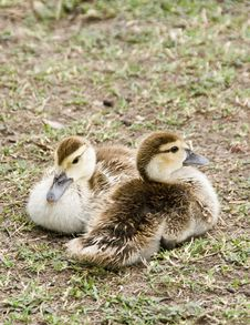 Free Ducklings. Stock Photo - 5785480