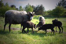 Free Sheeps Stock Image - 5786331