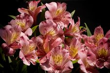 Free Alstroemeria Royalty Free Stock Photography - 5786907