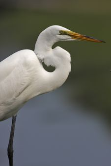 Free Great Egret (ardea Alba) Stock Image - 5787001