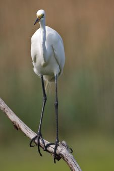 Free Great Egret (ardea Alba) Royalty Free Stock Image - 5787466