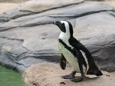 Free African Penguin 1 Stock Images - 5787714
