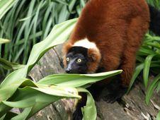 Free Brown Lemur 1 Royalty Free Stock Photos - 5787748