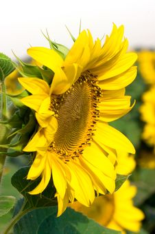 Free Sunflower Stock Images - 5787764